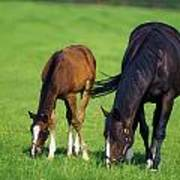 Mare And Foal Thoroughbred Horses Art Print