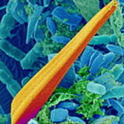 Marine Diatom Alga, Sem Art Print by Susumu Nishinaga