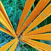 Marine Diatom Algae, Sem Art Print