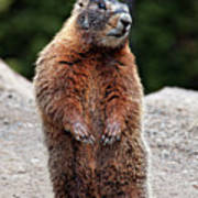 Marmot Rearing Up On Hind Legs In Yellowstone Art Print