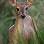 Marsh Deer Blastocerus Dichotomus Art Print