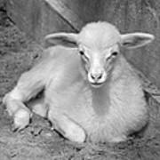 Marys Little Lamb... Or Kid In Black And White Art Print