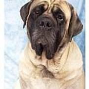 Mastiff 369 Art Print