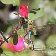 Mating Dragonfly Art Print