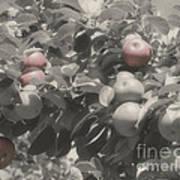 Mcintosh Apples In Partial Color Art Print