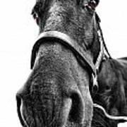 Me So Horsey Art Print