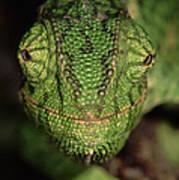 Mediterranean Chameleon Chamaeleo Art Print