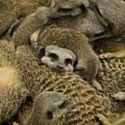 Meerkat Family Art Print
