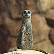 Meerkat Suricata Suricatta Sunning Print by Konrad Wothe
