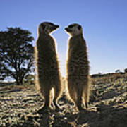 Meerkats Start Each Day With A Sunbath Art Print