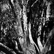 Melaleuca Tree Art Print