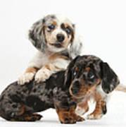 Merle Dachshund Pups Art Print