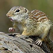 Mexican Ground Squirrel Art Print