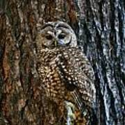 Mexican Spotted Owl Camouflaged Against Art Print