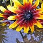 Mexican Sunflower Art Print