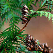 Michigan Cedar Cones Art Print