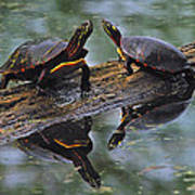 Midland Painted Turtles Art Print