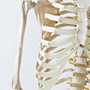 Midsection Of An Anatomical Skeleton Model Art Print