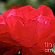 Mikado Tea Rose Art Print