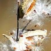 Milkweed  Explosion Art Print