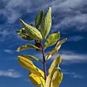 Milkweed Pods Against A Blue Sky Background Art Print