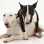 Miniature Bull Terrier Bitch, Lily Art Print by Mark Taylor