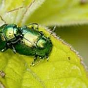 Mint Leaf Beetles Mating Art Print