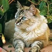 Mixed Breed Cat--mia Art Print