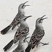 Mockingbirds Mimidae Galapagos, Equador Art Print