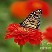 Monarch And Red Zinnia Art Print