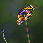 Monarch Butterfly Art Print by Elena Elisseeva