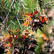 Monarch Butterfly Gathering Art Print