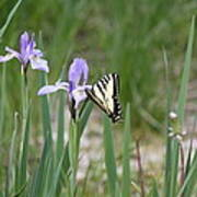 Monarch Butterfly On Iris Ser2 Art Print