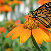 Monarch Butterfly On Tithonia Flower Art Print