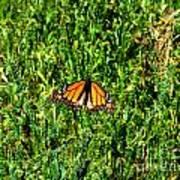 Monarch Butterfly Photograph Art Print