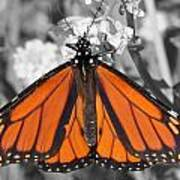 Monarch On Black And White Art Print