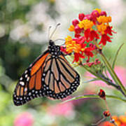 Monarch On Butterfly Weed Art Print