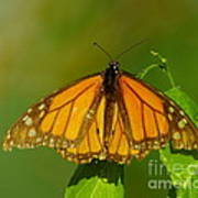 Monarch On Hackberry Art Print