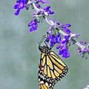 Monarch On Purple Art Print