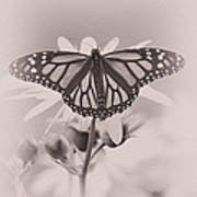 Monarch On Sunflower Art Print