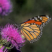 Monarch On Thistle 13f Art Print
