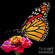 Monarch On Zinnia Art Print
