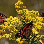 Monarchs On Yellow Art Print