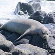 Monk Seal Art Print