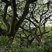 Monkeypod Trees II Art Print