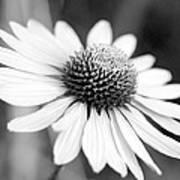 Monochrome Echinacea Art Print