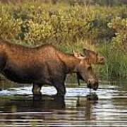 Moose Drinking In A Pond, Tombstone Art Print
