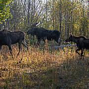 Moose Family Art Print