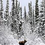 Moose In Deep Snow, Near Teslin, Yukon Art Print