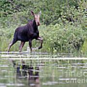 Moose On The Move Art Print